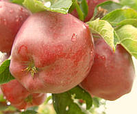 "Саженец яблони ""Ред Чиф"""