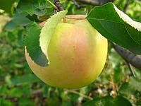 """Саженец яблони """"Голден Резистент"""""""