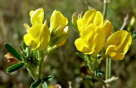 Люцерна Alfalfa