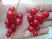 Саженцы красной смородины Троицская двухлетние