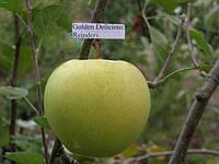 Яблуня Голден Делішес Рейндерс, фото 1