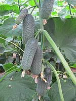 Семена огурца Директор F1 500 семян Nunhems