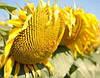 Семена подсолнечника НК Делфи, фото 3