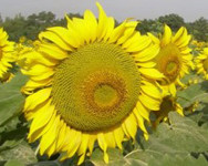 Семена подсолнечника НК Делфи