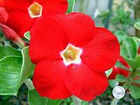 Адениум Red Aurora, семена