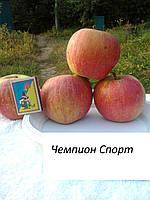 Саженцы яблони Чемпион Спорт  (Польша)