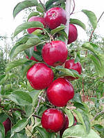 Саженцы яблони Моди (Италия)