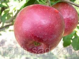 Саженцы яблони Флорина ( Франция )