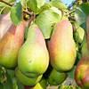 Сеженцы груши Верди ( Голландия)