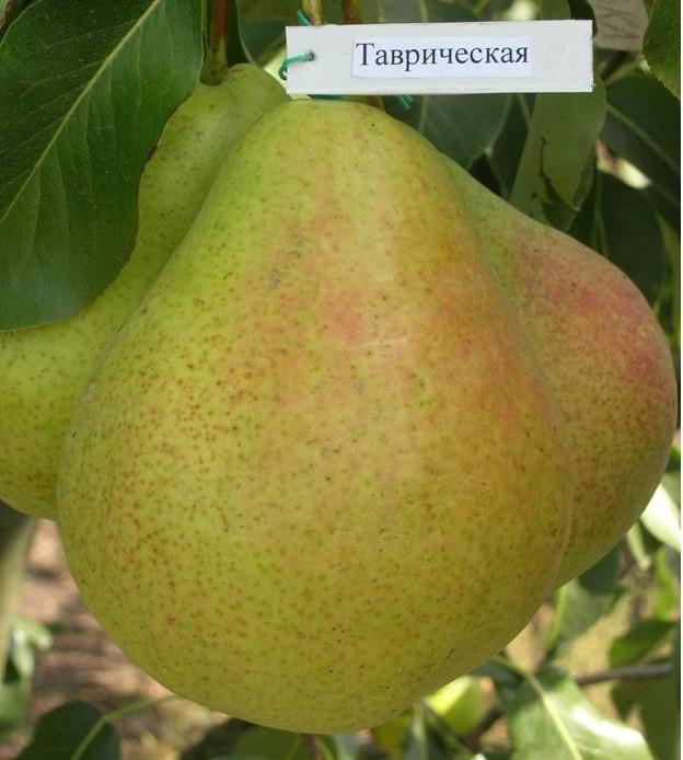 """Саджанець груші """"Таврійська"""""""