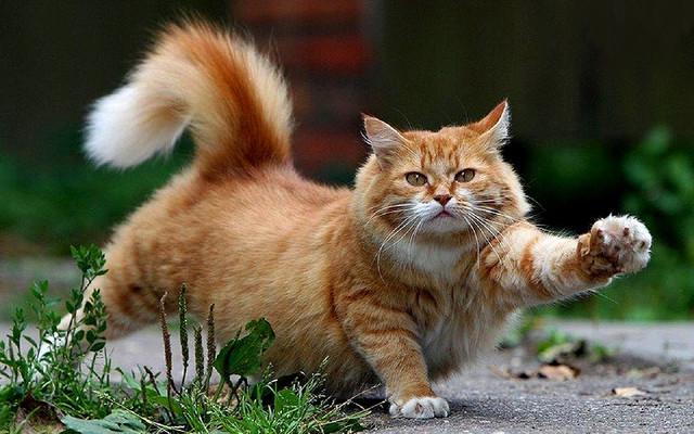 Корм для кошек с ягнёнком и уткой Acana Grasslands Cat