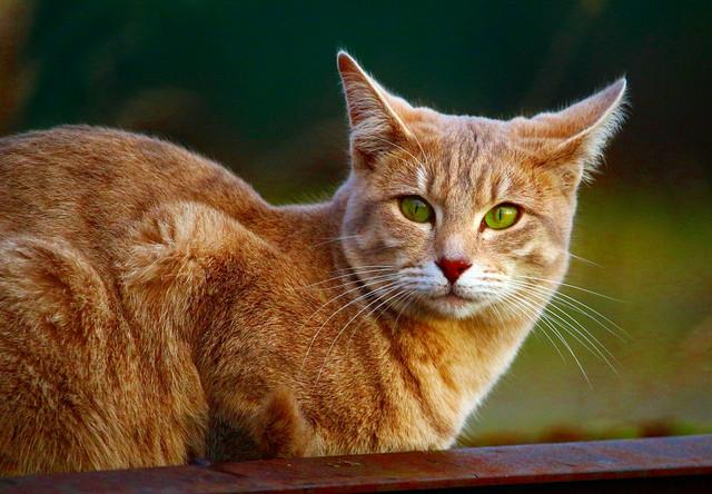 Корм для кошек с тремя видами рыбы Acana Pacifica Cat