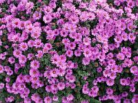 Астра осенняя розовая