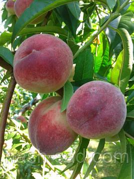 Саженцы персика Лесостепной ранний (Украина)