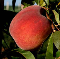 Саженцы персика Фрост ( США ).