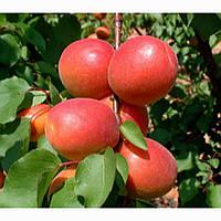 Саженцы абрикоса Цунами ( Франция )