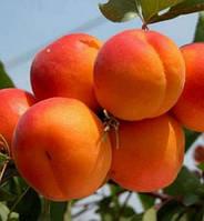 Саженцы абрикоса Харкот (Канада)