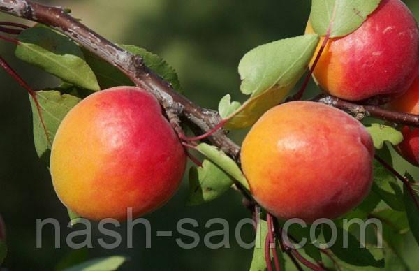 Саженцы абрикоса Харогем (Канада)