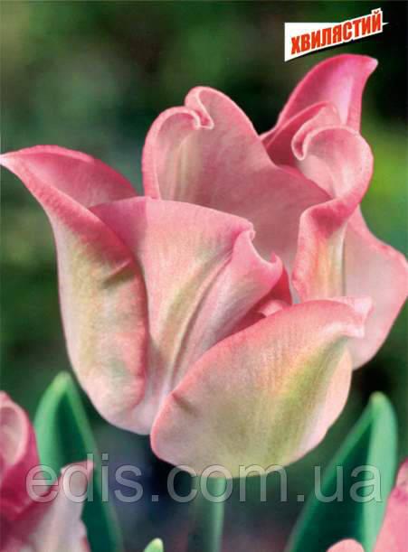 Тюльпан волнистый Witty Picture (Уитти Пикче) 2 шт./уп.