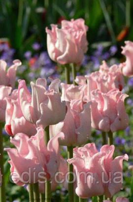 Тюльпан волнистый Witty Picture (Уитти Пикче) 2 шт./уп., фото 2