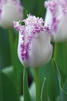 Тюльпан бахромчатый Aria Card (Ариа Кард) 3 шт./уп.