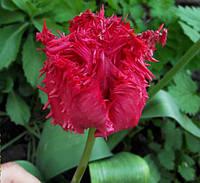 Тюльпан бахромчатый Barbados (Барбадос) 3 луковицы