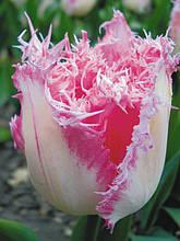 Тюльпан Huis ten Bosch (Хейс тен Бош) оторочений 3 цибулини