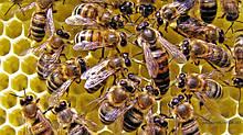 Матки та бджолопакети
