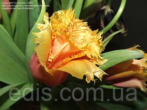 Тюльпан бахромчатый Noranda (Норанда) 3 шт./уп.