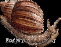 Улитка Ахатина размер mini