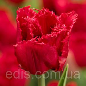 Тюльпан бахромчатый Red Wing (Ред уинг) 3 шт./уп., фото 2