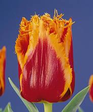 Тюльпан Palmares (Палмарес) оторочений 3 шт./уп.