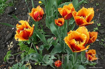 Тюльпан бахромчатый Palmares (Палмарес) 3 шт./уп., фото 2