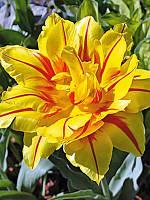Тюльпан махровый ранний Monsella (Монселла) 3 шт./уп.