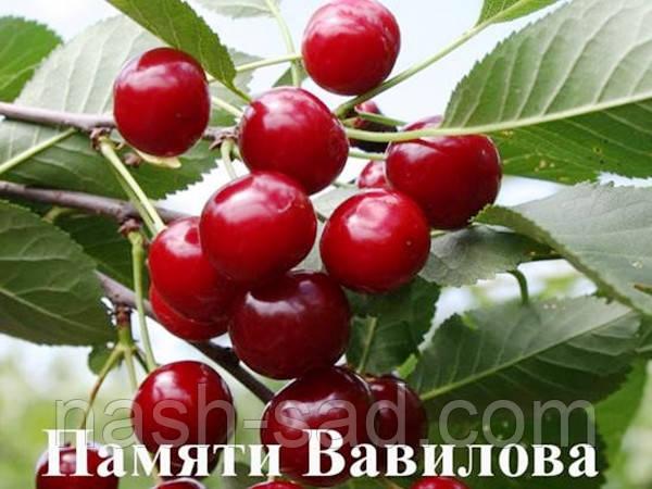 Саженцы вишни Память Вавилова(Россия)