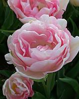 Тюльпан махровый поздний Angelique 3 шт./уп.