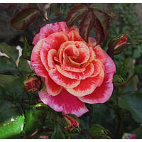 Роза флорибунда Эйрбраш / Airbrush осень