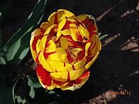 Тюльпан махровый поздний Golden Nizza 3 шт./уп.