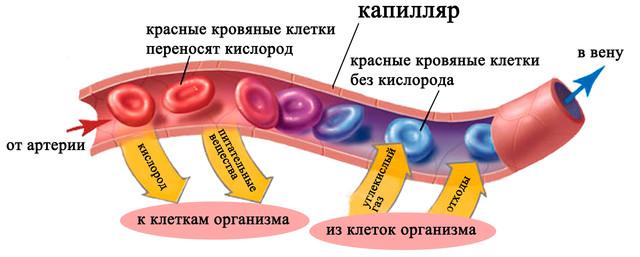 Как работает или влияет дигидрокверцетин на капилляры