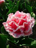 Тюльпан бахромчатый махровый Queensland 3 шт./уп.