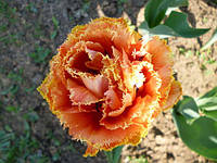 Тюльпан бахромчатый махровый Sensual Touch (Сеншуал Тач) 3 шт./уп.