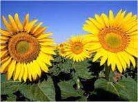 Семена подсолнечника Косова