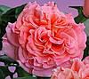 Роза Августа Луиза. Чайно-гибридная.
