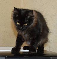 Котенок курильского бобтейла (девочка)