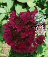 Гортензия метельчатая Вимс Ред, Файе енд Айс / Hydrangea paniculata  Wim's Red, Fire and Ice