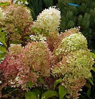 Гортензия метельчатая Фантом / Hydrangea paniculata Phantom