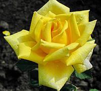 Роза Постилион. Чайно-гибридная роза. (мс)