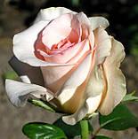 Роза Фламинго. (ввв). Чайно-гибридная роза, фото 2