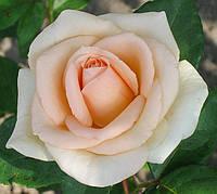 Роза Асиана. Чайно-гибридная роза.  , фото 1