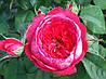 «Бенжамин Бриттен». Английская роза.